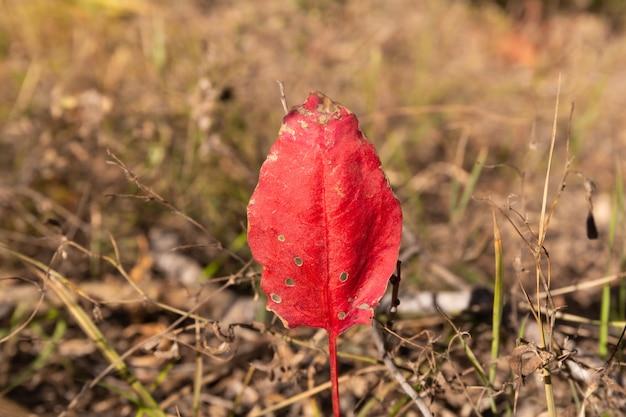 Zbliżenie czerwonego jesiennego zwiędłego liścia