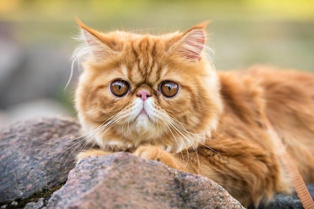 Zbliżenie czerwonego kota perskiego z dużymi pomarańczowymi okrągłymi oczami