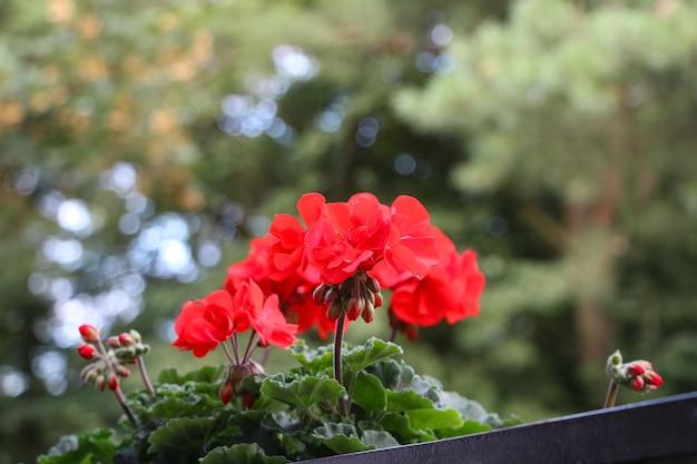 Zbliżenie czerwonej hortensji w doniczce kwiatowej
