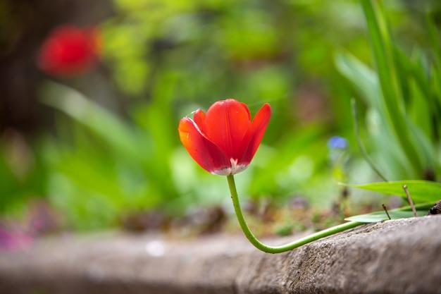 Zbliżenie czerwoni tulipanowi kwiaty kwitnie w wiośnie uprawia ogródek outdoors.