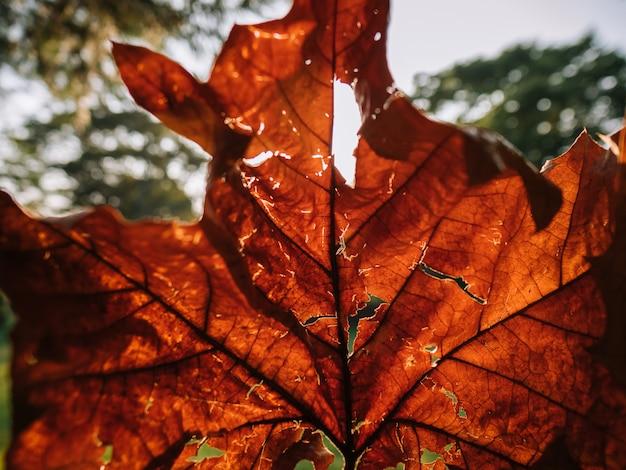 Zbliżenie czerwony spadku liść