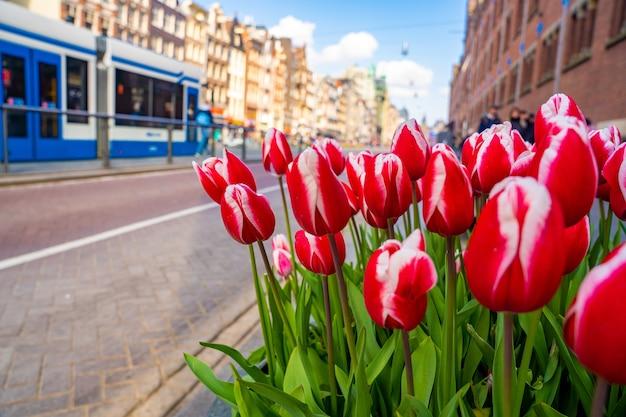 Zbliżenie czerwonych i białych tulipanów darwina na stronie ulicy w świetle dziennym
