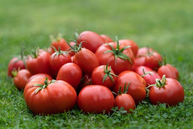 Zbliżenie czerwonych pomidorów świeżo zebranych na zielonej trawie