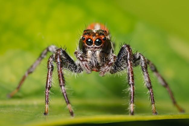 Zbliżenie czołowe skaczącego pająka x