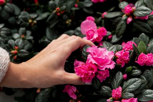 Zbliżenie dłoni dotykając różowe kwiaty