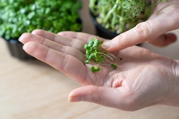 Zbliżenie dłoni kobiety trzymającej mikro zieleń rukoli. zdrowe wegetariańskie super jedzenie.