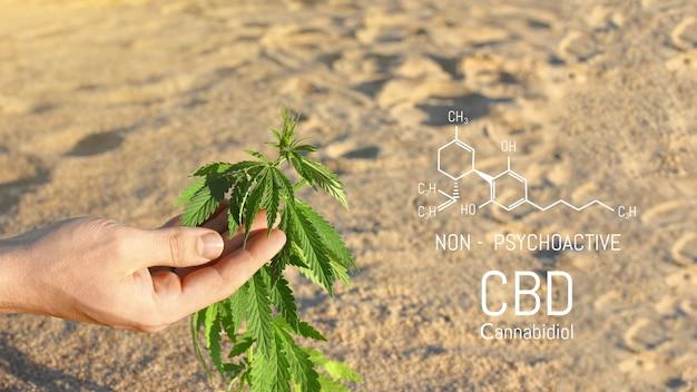 Zbliżenie dłoni naukowca sprawdzającego rośliny konopi w szklarni, używane do ziołowych leków alternatywnych i produkcji oleju cbd.