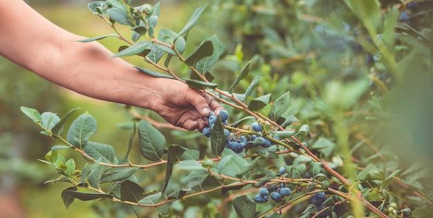 Zbliżenie dłoni rolnika zbioru lub zbierając jagody z jego ogromnej farmy czernicy