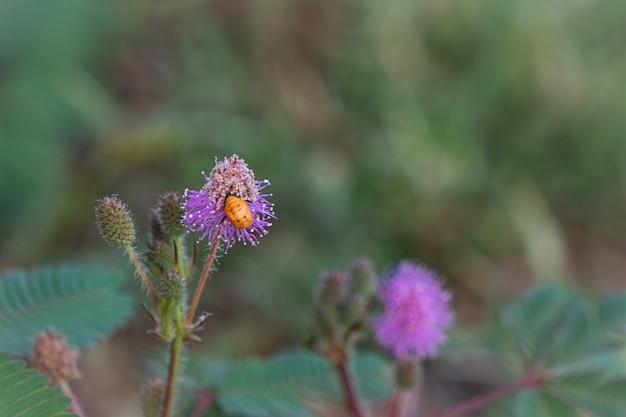 Zbliżenie do wrażliwego kwiatu rośliny, mimozy pudica z małą pszczołą
