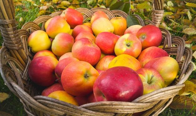 Zbliżenie dojrzałe czerwone jabłka w wiklinowym koszu w ogrodzie
