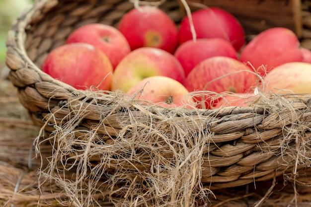Zbliżenie dojrzałych czerwonych jabłek soczystych w wiklinowym koszu na rynku.