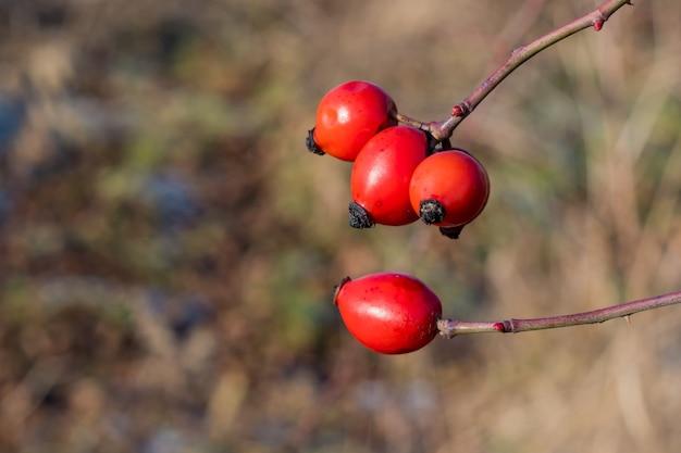 Zbliżenie dojrzałych owoców dzikiej róży
