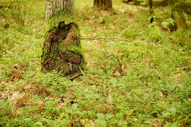 Zbliżenie dolnej części pnia drzewa w lesie