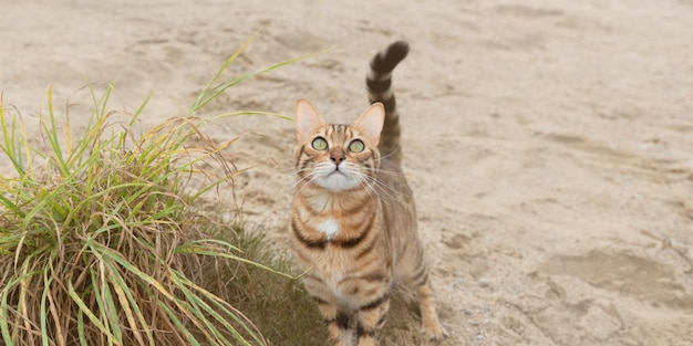 Zbliżenie: domowego kota bengalskiego na spacerze. selektywna ostrość.