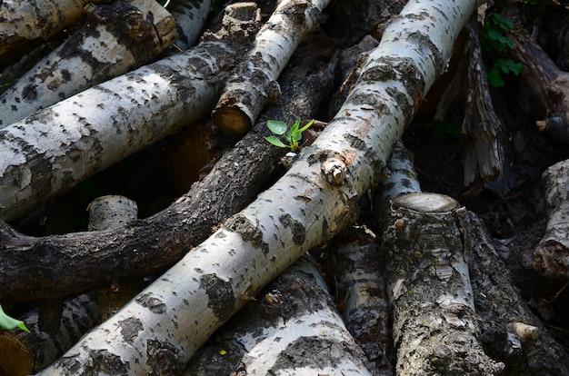 Zbliżenie drewna opałowego ze starej topoli o szorstkiej białej korze