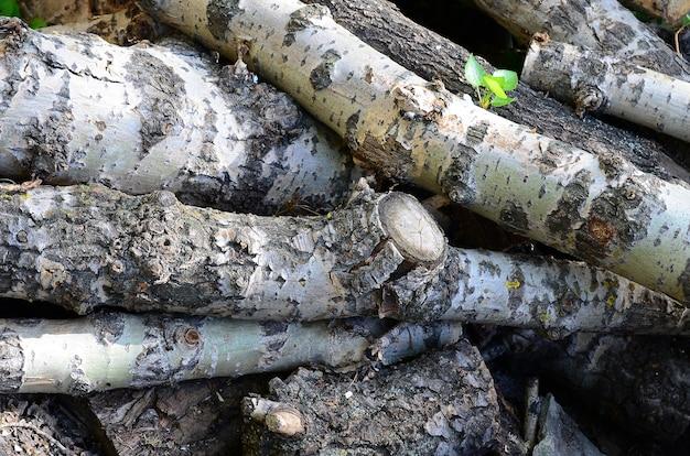 Zbliżenie drewno opałowe od starej topoli z szorstką białą korą
