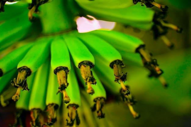 Zbliżenie drzewa bananowego