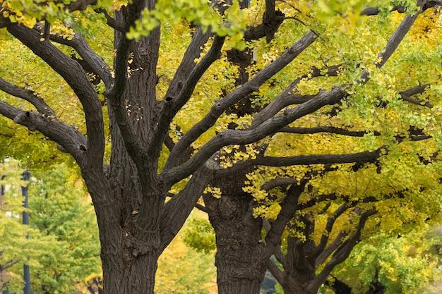 Zbliżenie drzewa miłorzębu jesienią