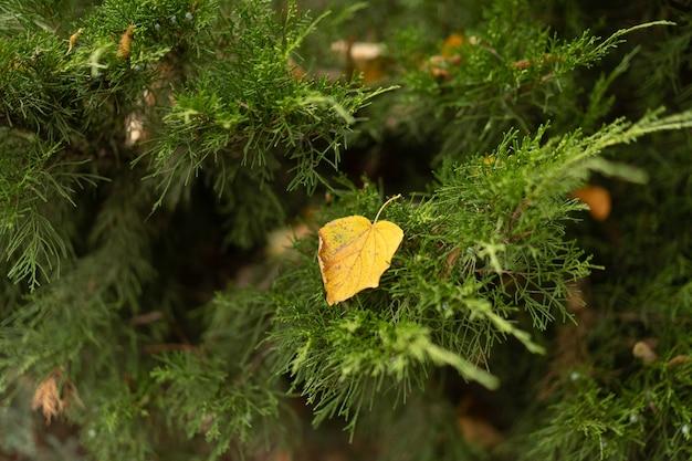 Zbliżenie. drzewo iglaste lub świerkowe z opadłymi żółtymi liśćmi z drzew na nim.