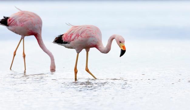 Zbliżenie dwa andyjskiego flaminga w słonym jeziorze chaxa blisko san pedro de atacama, chile, ameryka południowa