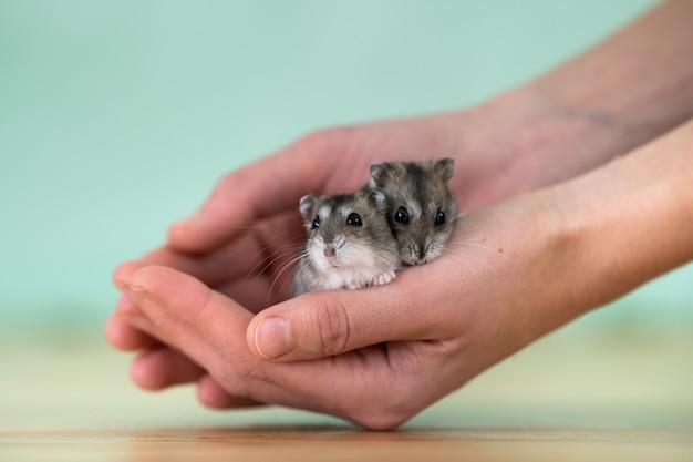 Zbliżenie dwa małego śmiesznego miniaturowego chomika jungar siedzi na kobiet rękach. puszyste i słodkie szczury dzhungar w domu.