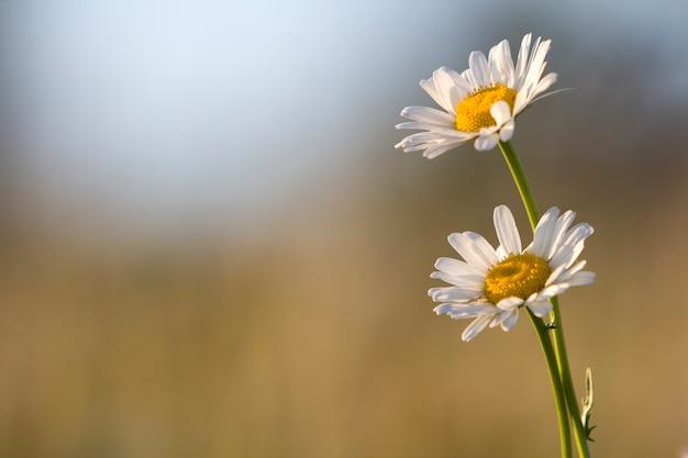 Zbliżenie dwóch delikatnych, pięknych prostych białych stokrotek z jasnożółtymi sercami oświetlonymi porannym słońcem kwitnącym na wysokich łodygach na niewyraźnej mglistej miękkiej zieleni. piękno i harmonia koncepcji natury.