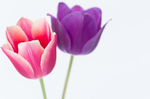 Zbliżenie dwóch kolorowych kwiatów tulipanów na białym tle na białym tle z miejscem na tekst