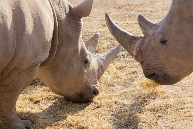 Zbliżenie dwóch nosorożców jedzących siano z pięknym pokazem ich rogów i teksturą skóry