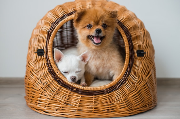 Zbliżenie dwóch uroczych i ładnych szczeniąt - pomorskich i chihuahua o śmiesznych twarzach i emocjach siedzą i leżą w wiklinowym domu dla psów i patrzą z niego