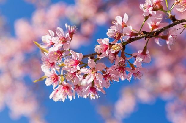 Zbliżenie dzika himalajska wiśnia lub tajlandzki sakura kwiat przy khun chang kian, chiang mai, tajlandia (prunus cerasoides).