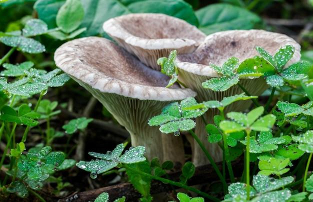 Zbliżenie dzikich grzybów otoczonych koniczynami na polu na malcie