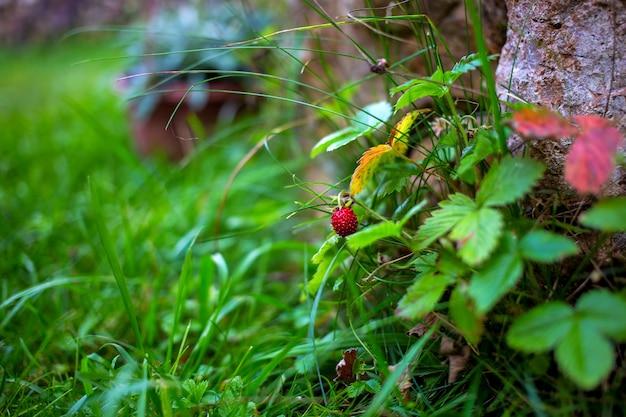 Zbliżenie dzikie truskawki jagody rośnie na zielono na tle ściany kamieni w letni dzień. w tle trawa w rozmyciu. nieostrość