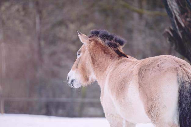 Zbliżenie dzikiego konia przewalskiego
