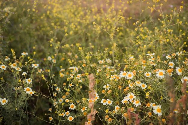 Zbliżenie dzikiego kwiatu rumianku