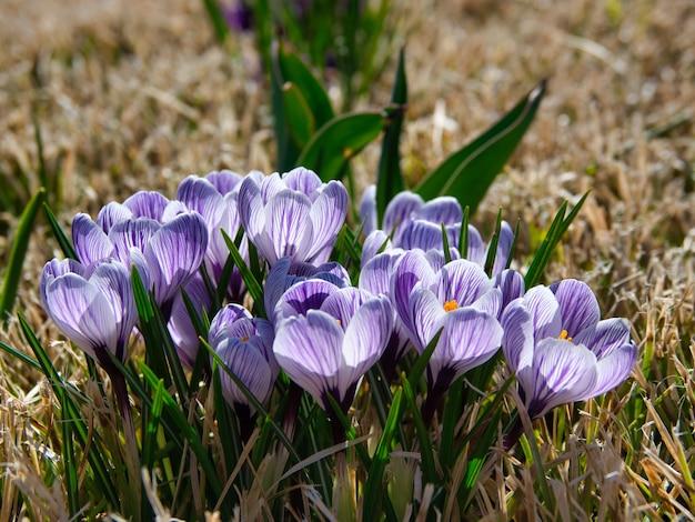 Zbliżenie fioletowe krokusy w ogrodzie pod światłem słonecznym