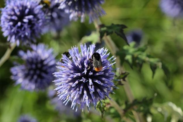 Zbliżenie fioletowego kwiatu z pszczołami w wieczornym parku miejskim echinops bannaticus blue globe