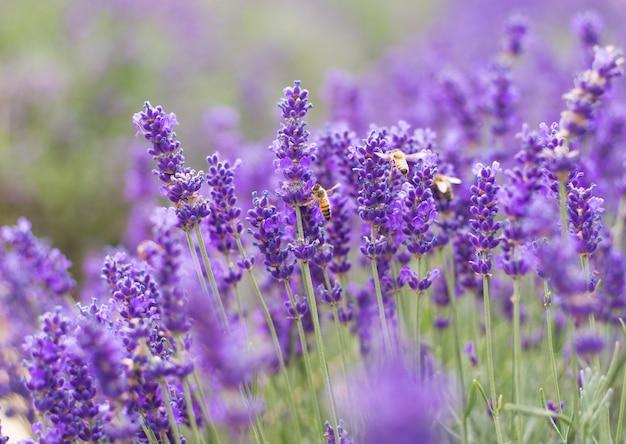 Zbliżenie fiołkowa lawenda kwitnie z pszczołą na polu