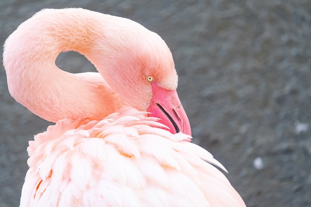 Zbliżenie flaminga odpoczynku ts głowy na plecach