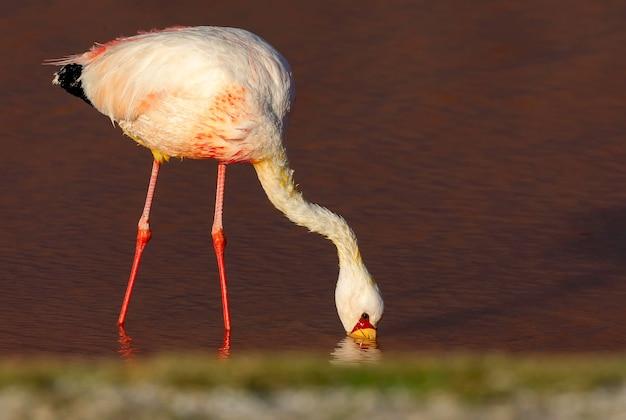 Zbliżenie fotografia flaming w lagunie colorada, potosi. boliwia. ameryka południowa