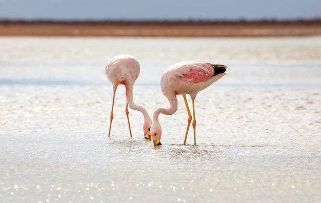 Zbliżenie fotografia próbować znajdować posiłku andyjskich flamingi w słonym jeziorze chaxa blisko san pedro de atacama, chile