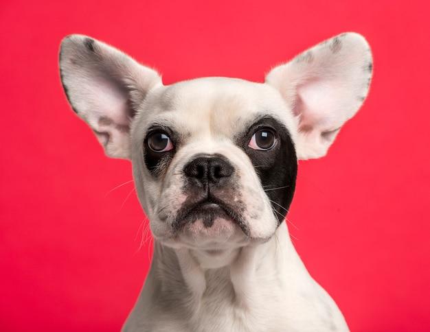 Zbliżenie: francuski bulldog puppy przed białą ścianą