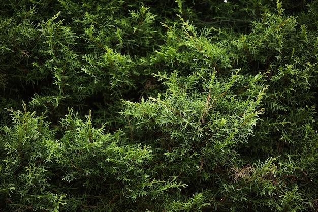 Zbliżenie gałęzi drzewa iglastego. bali. indonezja.