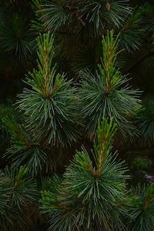 Zbliżenie gałęzi sosny na całą ramę z dobrze widocznymi dużymi pojedynczymi igłami i pięknymi zielonymi naturalnymi odcieniami