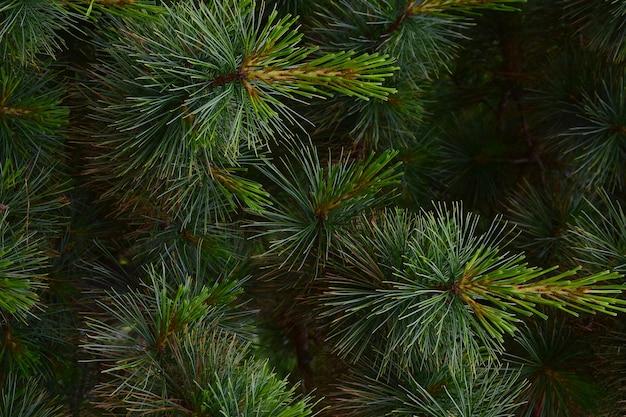 Zbliżenie gałęzi sosny na całej ramie z dobrze widocznymi pojedynczymi igłami i zielonymi odcieniami