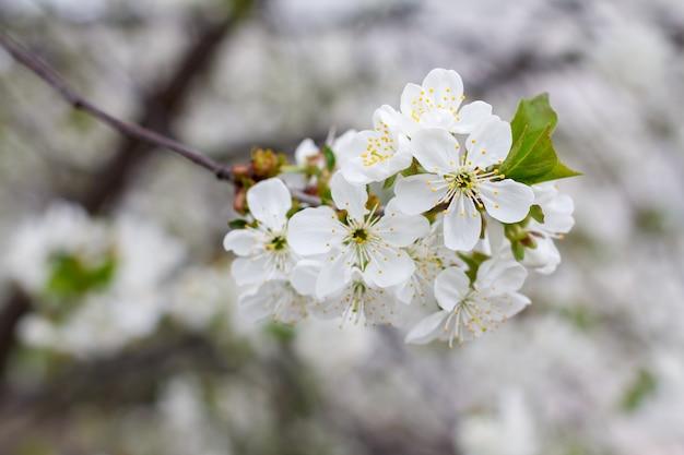 Zbliżenie gałęzi wiśni w okresie wiosennego kwitnienia