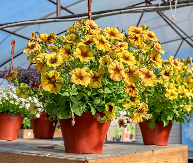 Zbliżenie garnka z żółtymi kwiatami petunii stojących na ladzie w sklepie ogrodniczym.