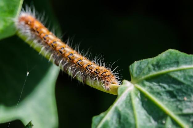 Zbliżenie gąsienicy dębowego jaja na roślinach w polu na malcie