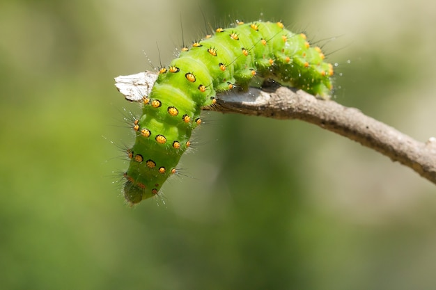 Zbliżenie gąsienicy saturnia pavonia na gałęzi drzewa z rozmytym tłem
