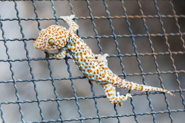 Zbliżenie gekon na stalowej siatce
