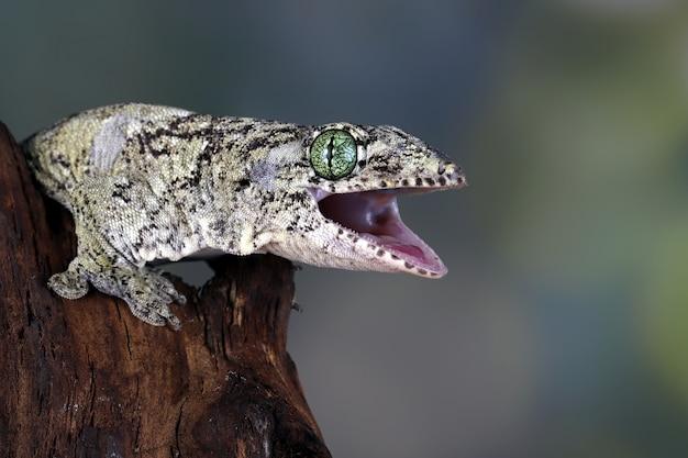 Zbliżenie gekona olbrzymiego w halmaheranie